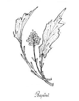 Hand drawn of fresh rapini on white background