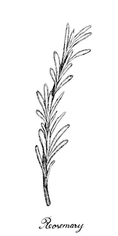 Hand drawn of fresh rosemary plant on white