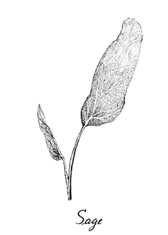 Hand drawn of fresh sage plant on white