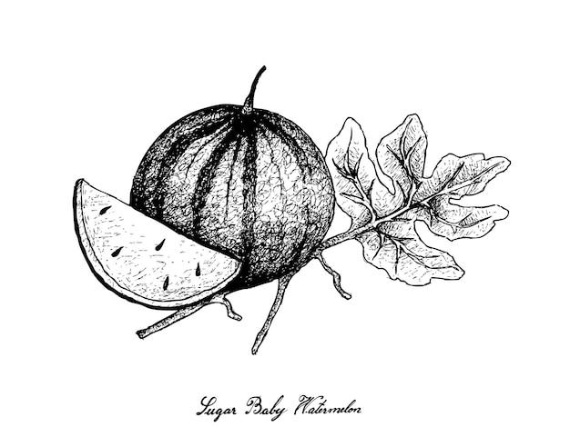 Hand drawn of fresh sugar baby watermelon