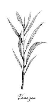 Hand drawn of fresh tarragon plant on white