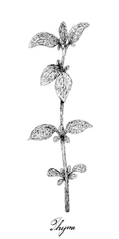 Hand drawn of fresh thyme plant on white