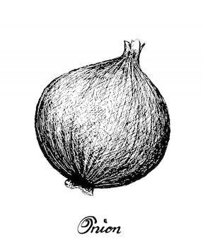 Hand drawn of fresh yellow onion on white