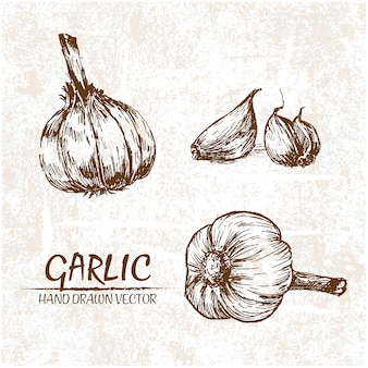Hand drawn garlic design