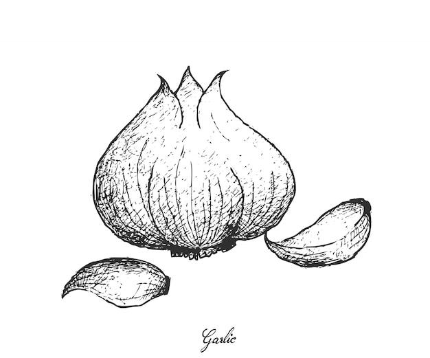 Hand drawn of garlic on white background
