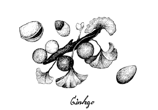 Hand drawn of ginkgo biloba with leaves and nuts