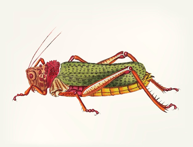 Hand drawn of granulated locust