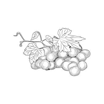 手描きのブドウの房と葉。彫刻スタイル。白い背景の上の孤立したオブジェクト。ベクトルイラスト