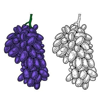 Нарисованная рукой иллюстрация винограда в стиле гравюры