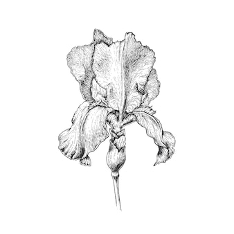 Hand drawn graphical iris flower, monochromatic isolated botanical illustration.
