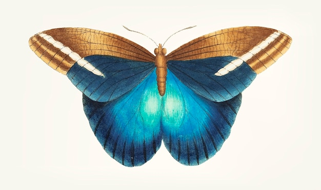 Hand drawn great occidental butterfly
