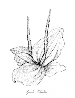 Hand drawn of greater plantain on white background