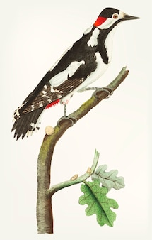 Hand drawn of greater spotted wood-pecker