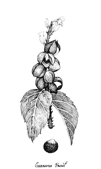 Hand drawn of guarana or paullinia cupana fruits