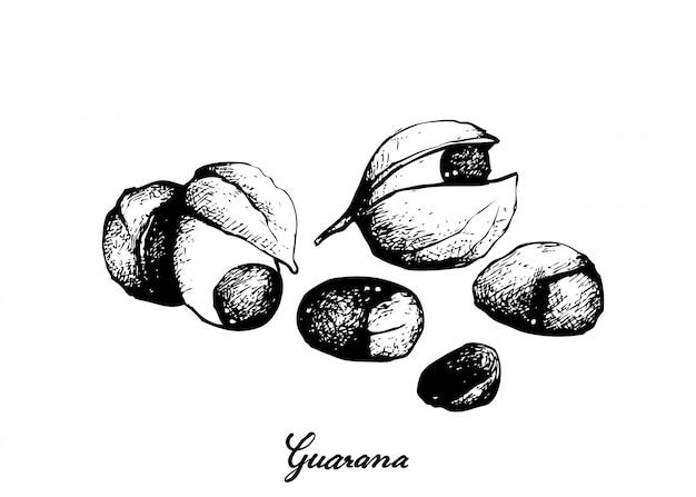Hand drawn of guarana or paullinia cupana fruits