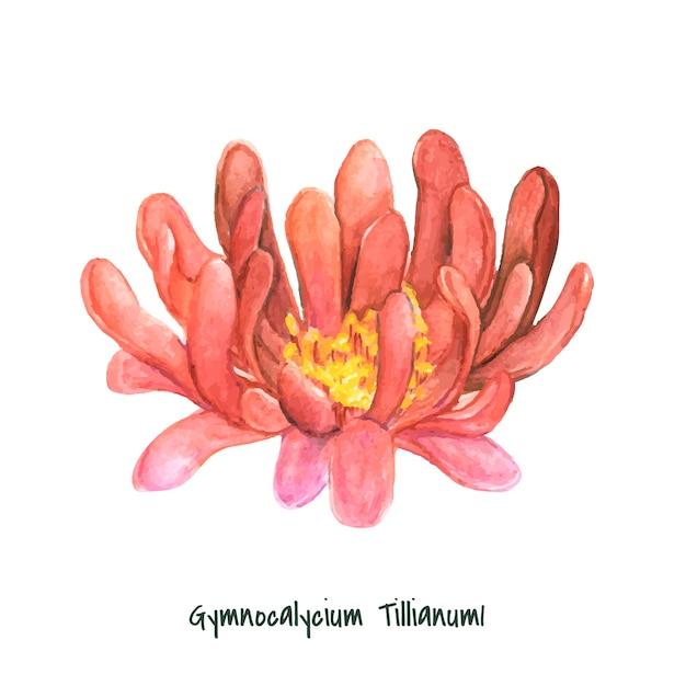 Hand drawn gymnocalycium tillianum cactus