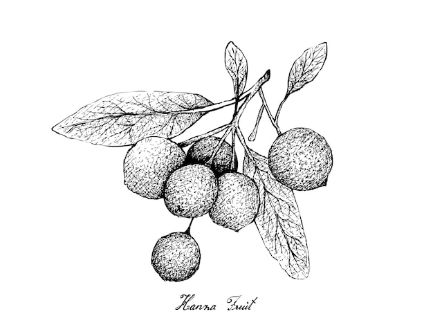 Hand drawn of hanza fruits on white