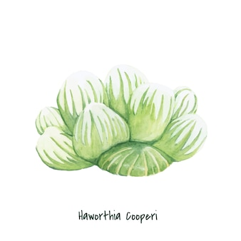 Hand drawn haworthia cooperi plant