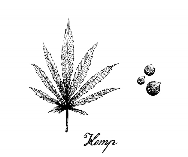 Hand drawn of hemp leaf and seeds