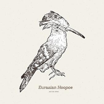 Hand drawn hoopoe bird