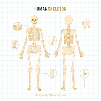Hand drawn human skeleton