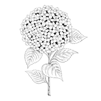 Hand drawn hydrangea flowers and leaves drawing illustration.
