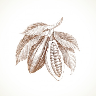 Hand drawn illustration - cocoa beans with leaves.