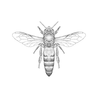 Hand drawn illustration of drone bee also known as bumblebee