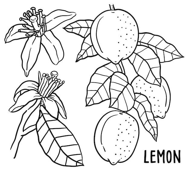Hand drawn illustration of lemon.