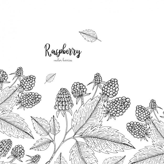 Ручной обращается иллюстрации малины, изолированные на белом фоне. ягоды выгравированы стиль иллюстрации.