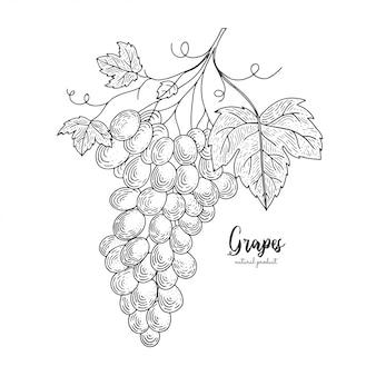 白い背景で隔離のブドウの手描きイラストの束。