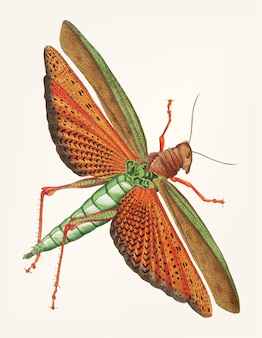Hand drawn of imperial locust