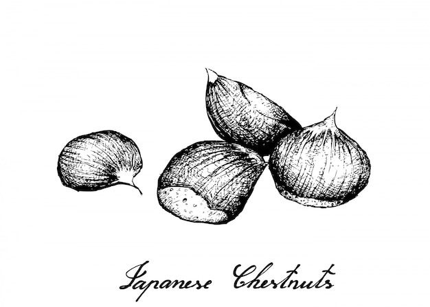 Hand drawn of japanese chestnuts