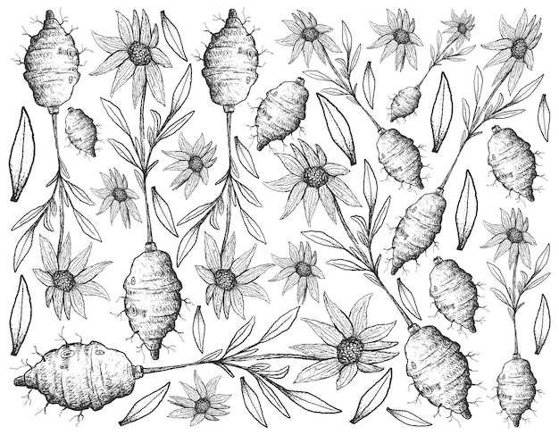 Hand drawn of jerusalem artichoke on white background