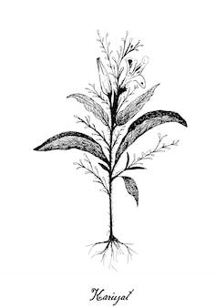 Hand drawn of kariyat or andrographis paniculata plants