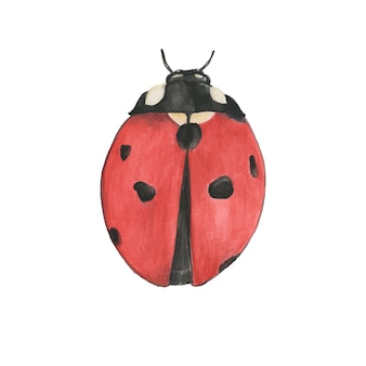 Hand drawn ladybug isolated on white background