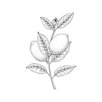Hand drawn lemon branch