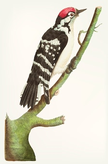 Hand drawn of lesser spotted woodpecker
