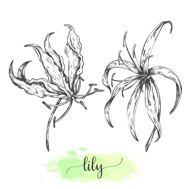 손으로 그린 백합 꽃입니다. 피 백합 화이트에 격리입니다. 빈티지 스타일의 벡터 일러스트 레이 션. 열 대 꽃 개요 릴리의 스케치