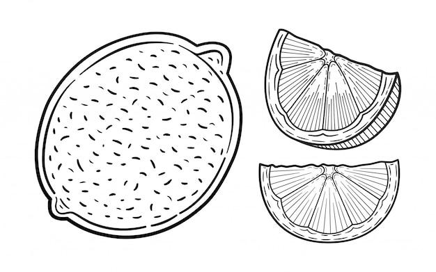 손으로 그린 라임 또는 레몬 세트. 전체 레몬, 슬라이스 조각, 절반, 잎사귀 및 씨앗 스케치. 과일 새겨진 스타일 그림. 자세한 감귤 그리기.
