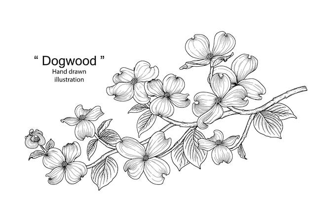 白い背景で隔離の手描きラインアートハナミズキの花