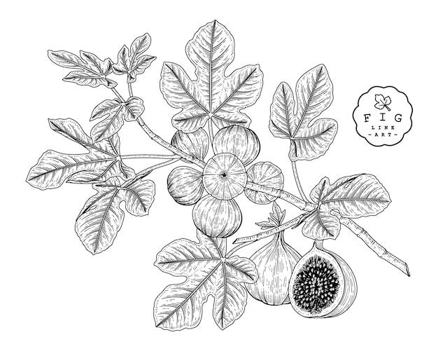 白い背景で隔離の手描きラインアートイチジク装飾セット