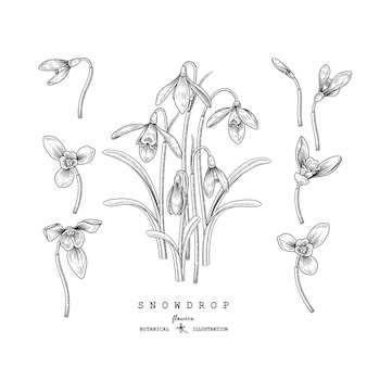 Hand drawn line art snowdrop flower decorative set isolated on white backgrounds