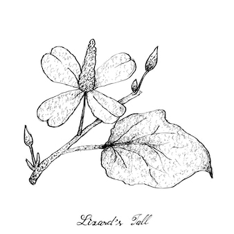 Hand drawn of lizard's tail plant on white background