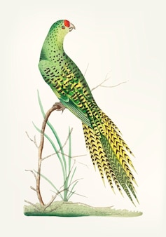 Hand drawn of long-tailed parrot