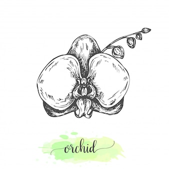 手描きの蓮の花。咲くスイレンが分離されました。ビンテージスタイルのベクトル図。熱帯の花のスケッチスイレンの概要