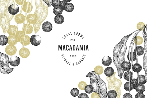 Hand drawn macadamia branch and kernels  template. organic food  illustration on white background. retro nut illustration. engraved style botanical banner.