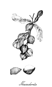 Hand drawn of macadamia nuts on a branch