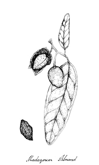 Hand drawn of madagascar almond on a branch