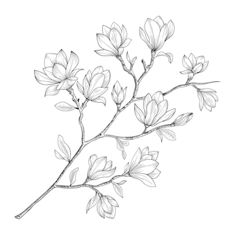 Hand drawn magnolia flowers and leaves drawing illustration.